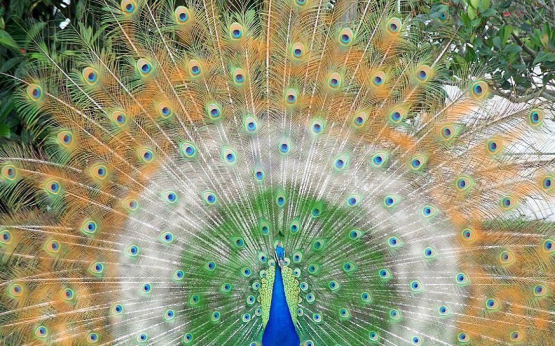 birds feathers peacocks wallpaper