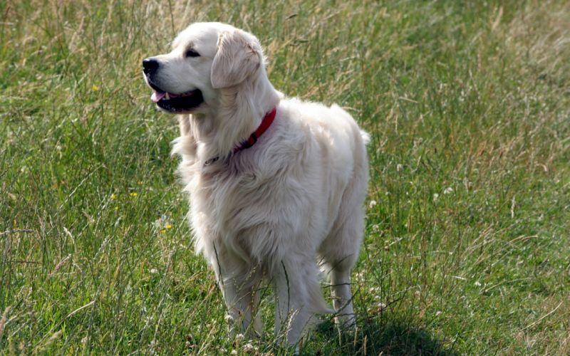 animals dogs outdoors pets golden retriever wallpaper
