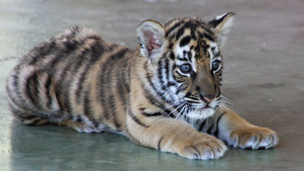 animals orange tigers wallpaper
