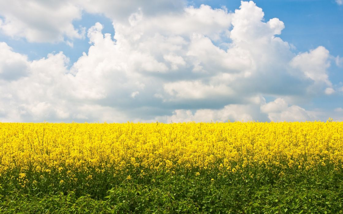 flowers fields yellow field yellow flowers wallpaper