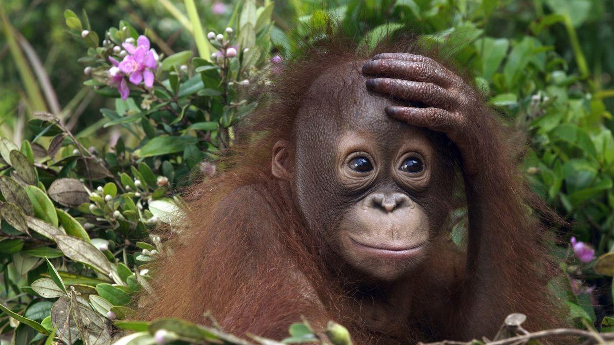 animals Malaysia orangutans wallpaper