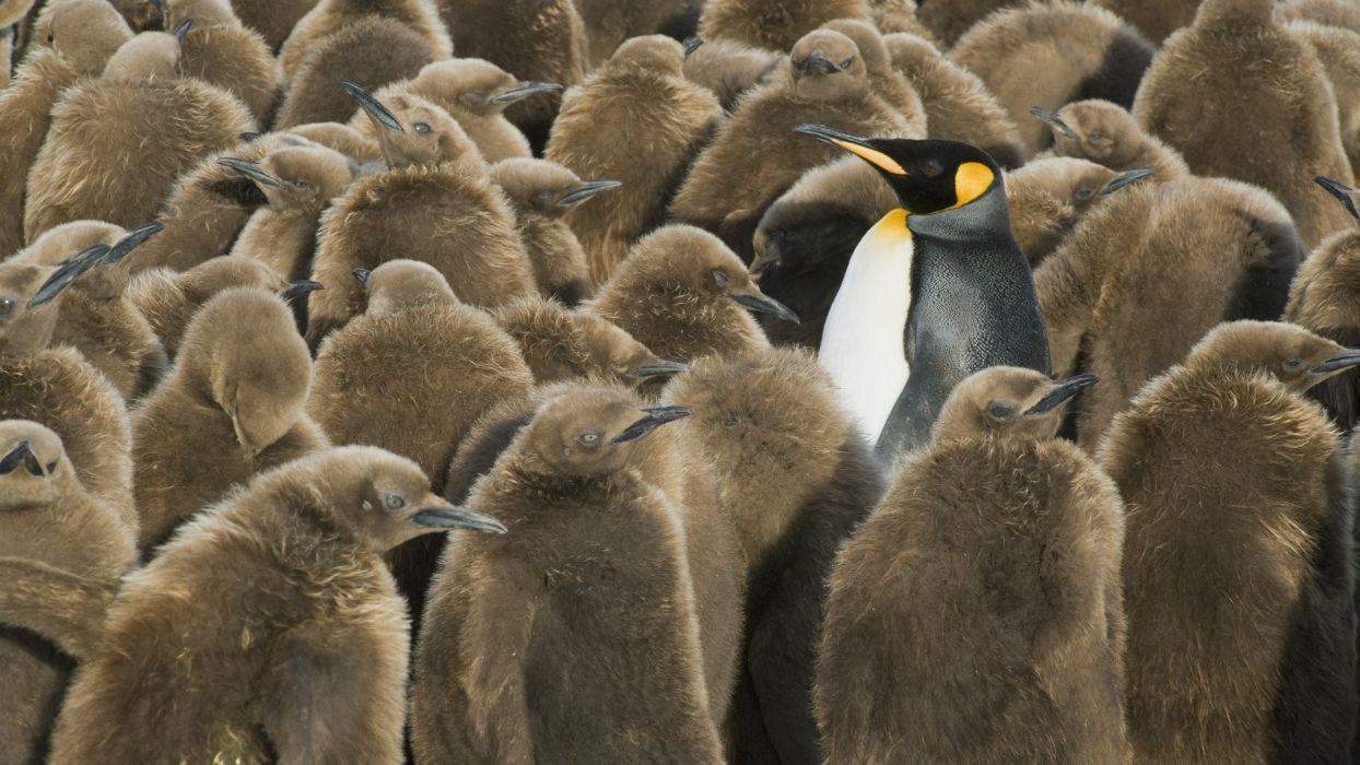 Georgia penguins islands south wallpaper