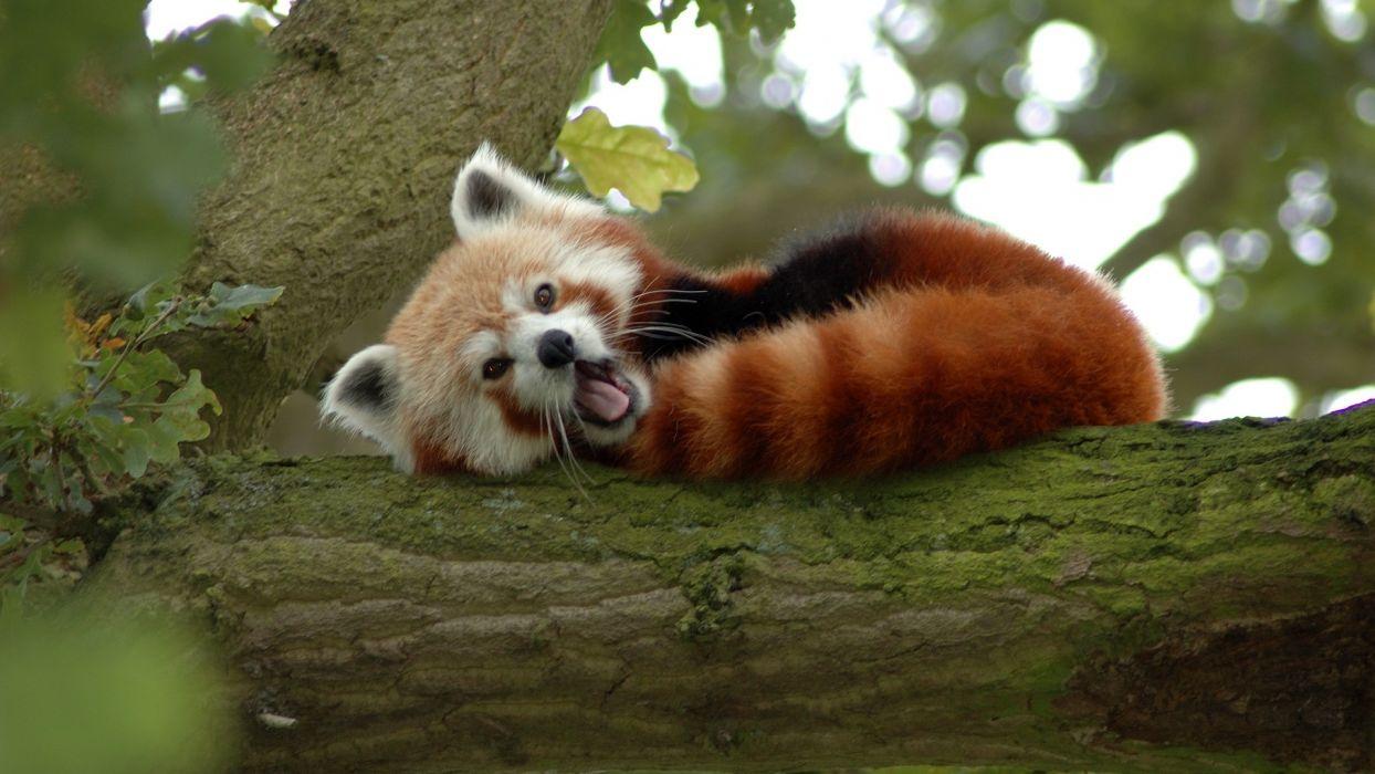 trees animals bamboo red pandas wallpaper