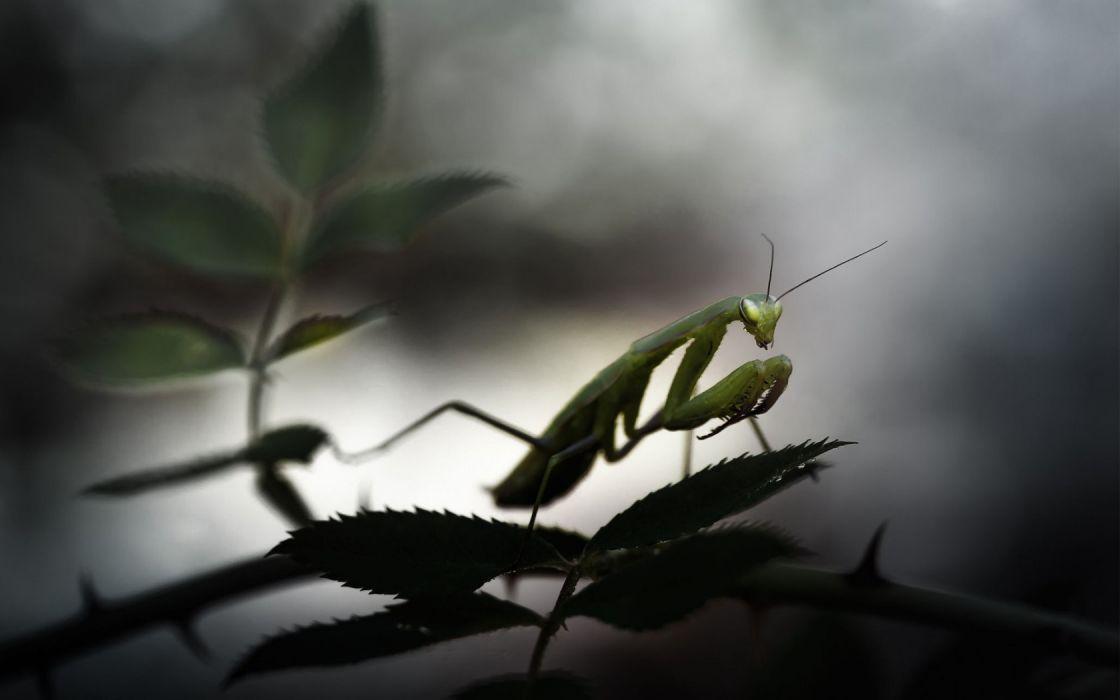 animals mantis Praying Mantis wallpaper