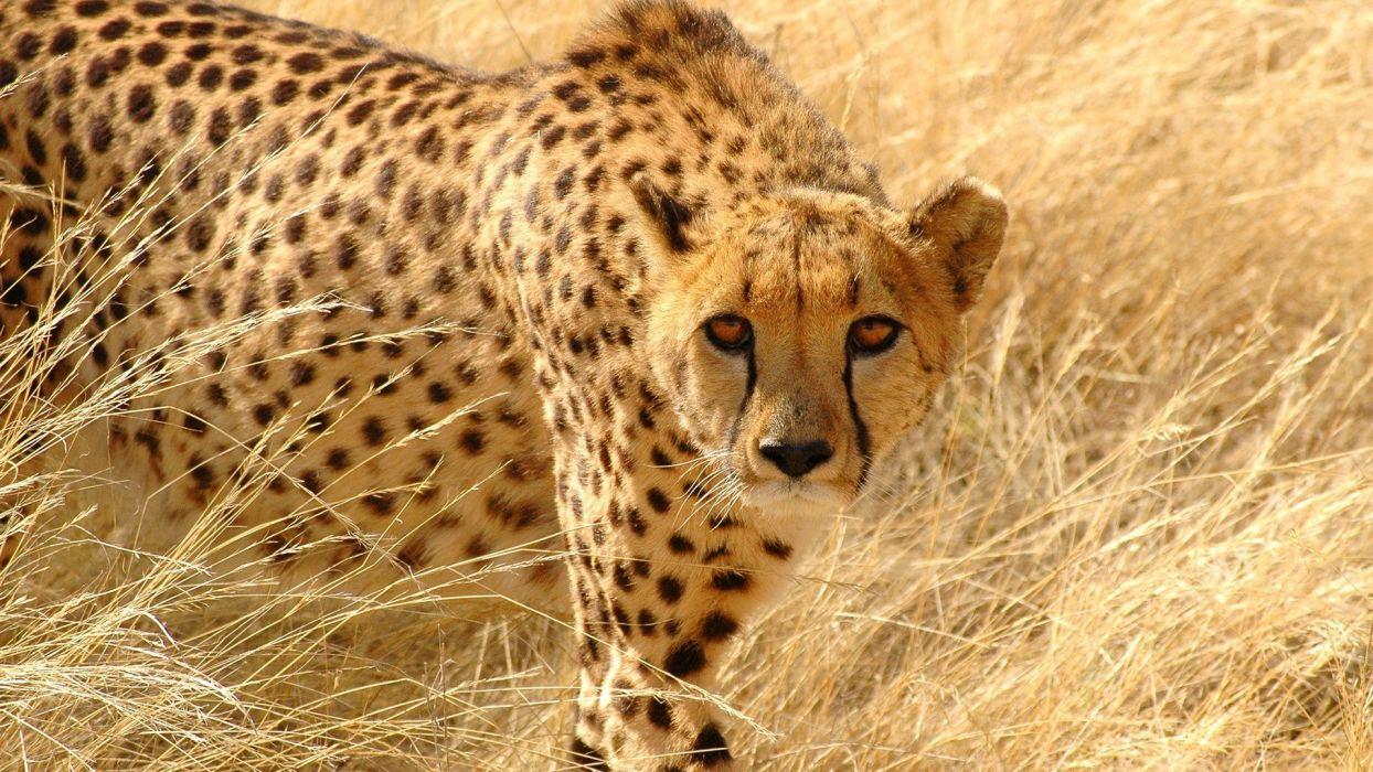 animals cheetahs predators wild animals wallpaper