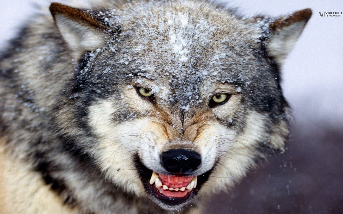 animals savage wolves wallpaper