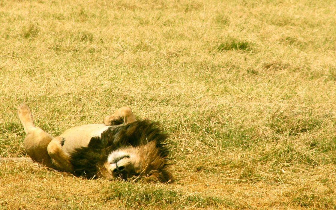 nature sleeping lions wallpaper