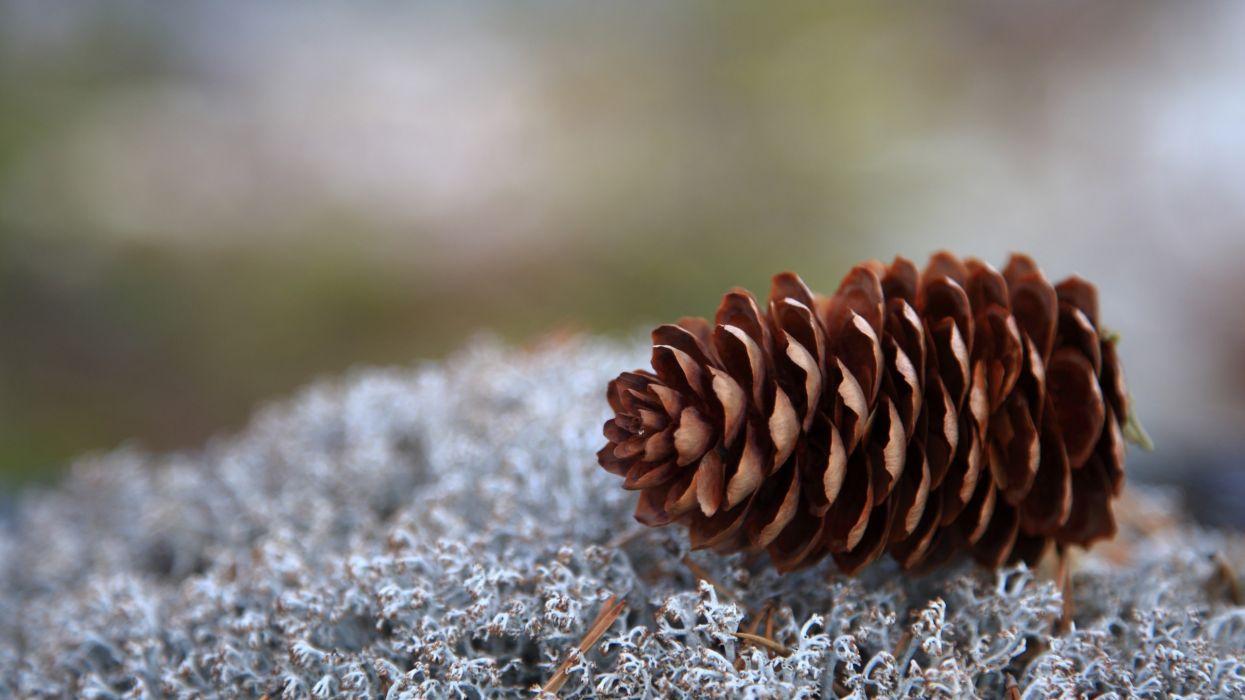 pinecones depth of field wallpaper