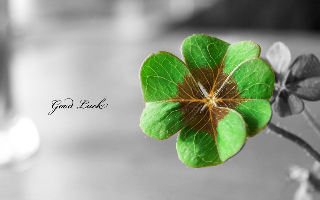 flowers text typography shamrock luck macro selective coloring four leaf clover Clovers wallpaper
