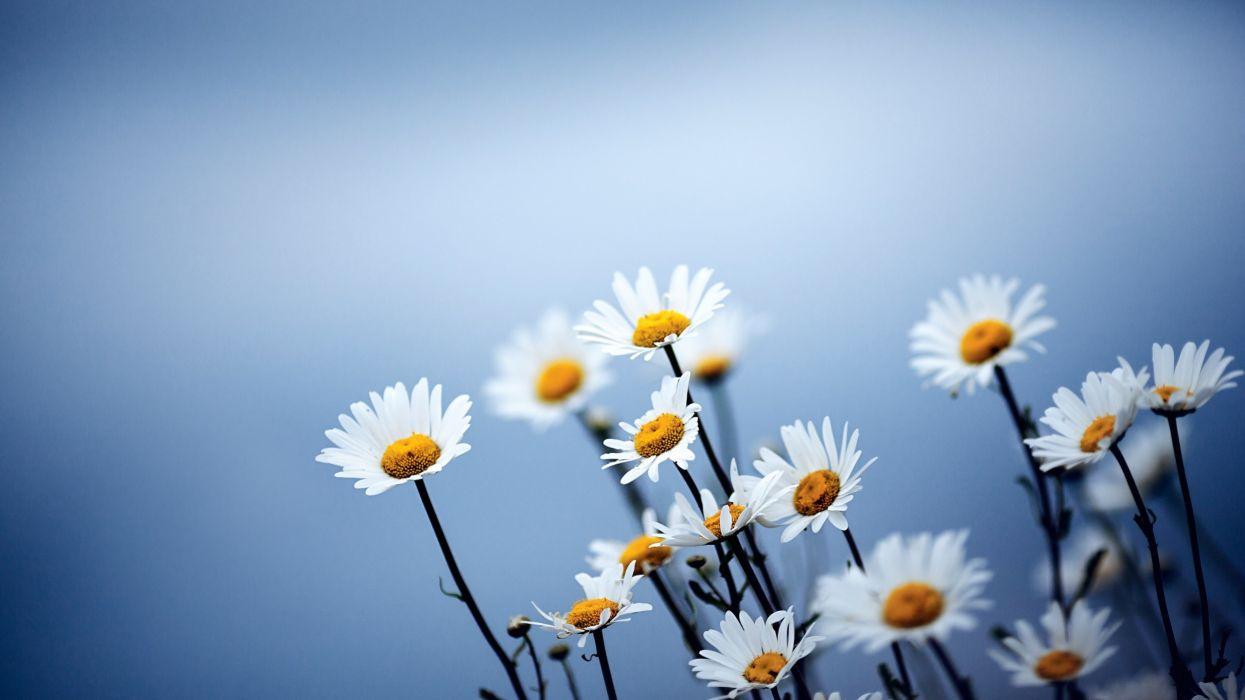 flowers spring plants chamomile wallpaper