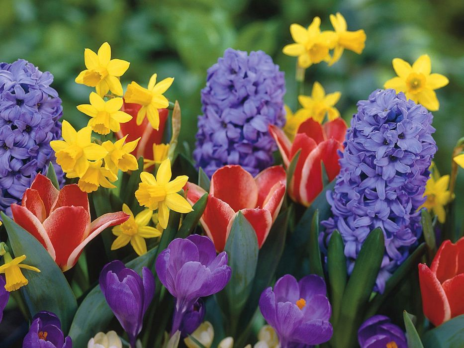 nature flowers tulips crocus daffodils Narcissus hyacinths wallpaper