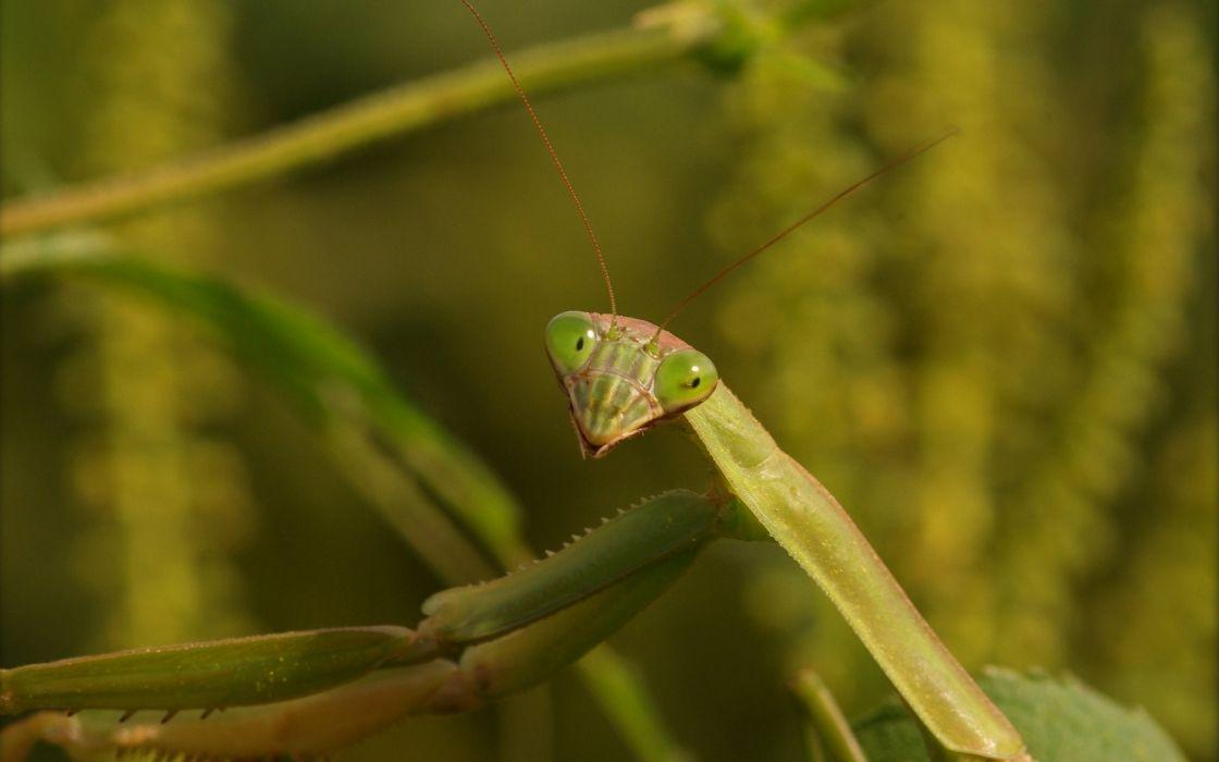 insects Praying Mantis wallpaper