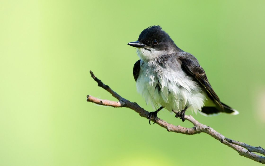 birds animals flycatcher wallpaper