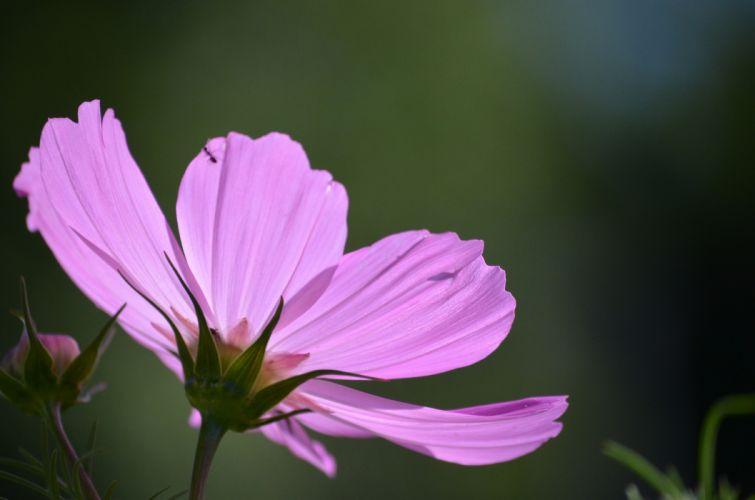 nature flower garden wild drop macro cosmos pink hd wallpaper wallpaper