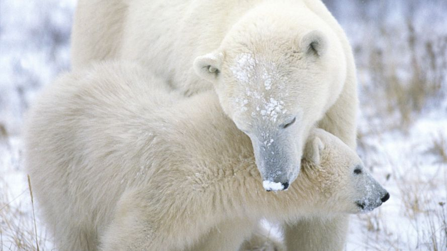 nature snow animals polar bears baby animals wallpaper