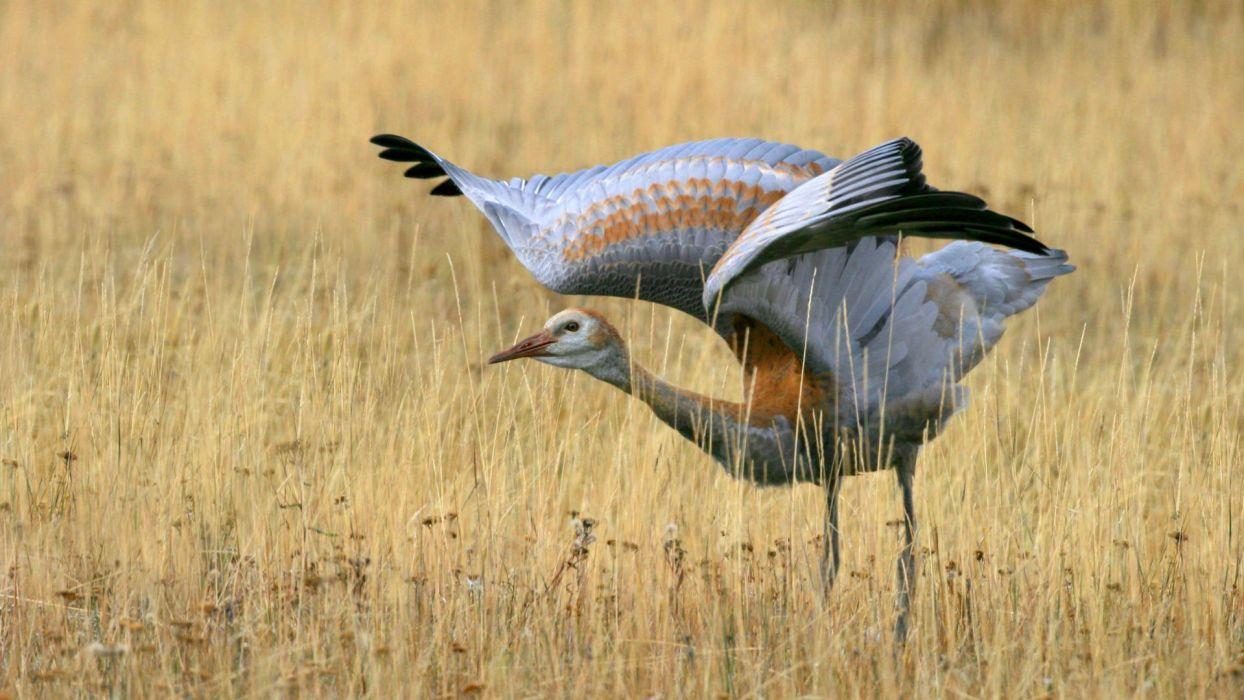 birds cranes wallpaper