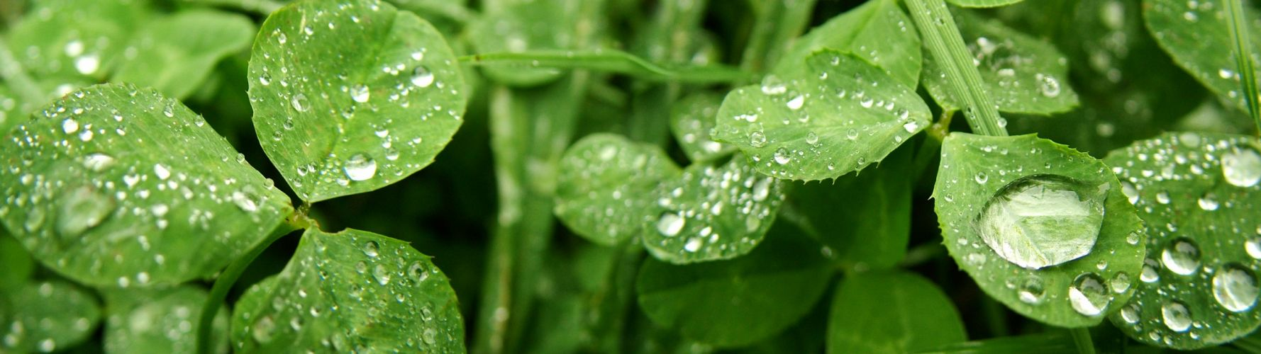 close-up leaves water drops clover wallpaper