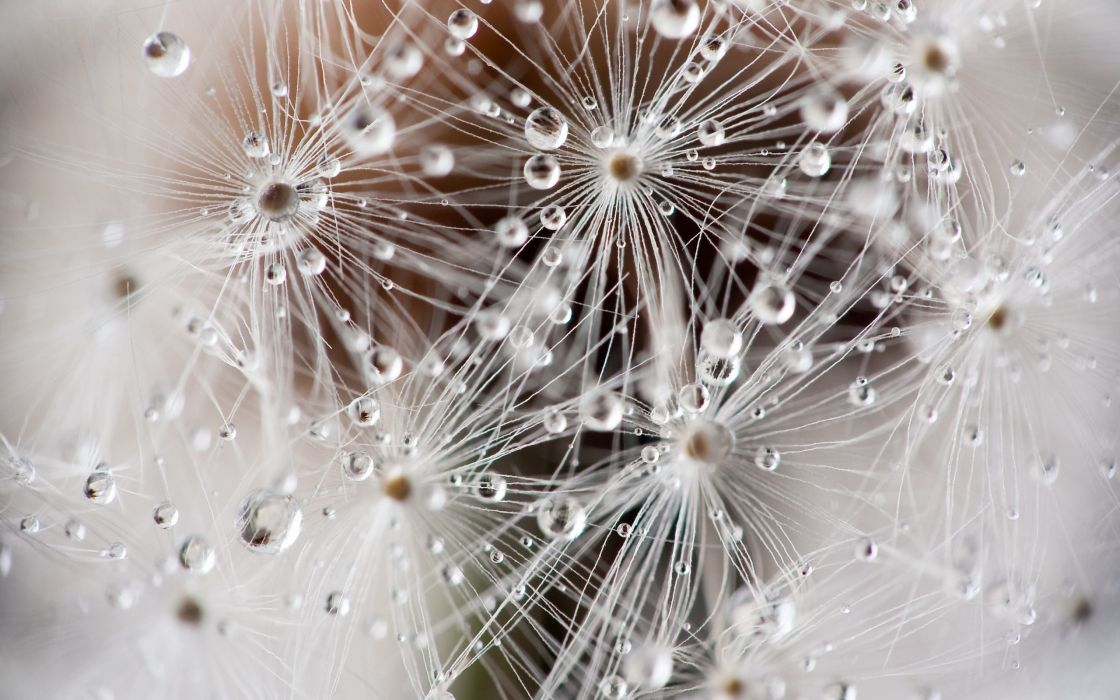 macro dandelions wallpaper