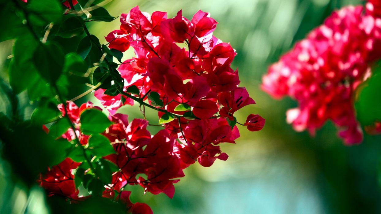nature flowers bougainvillea wallpaper