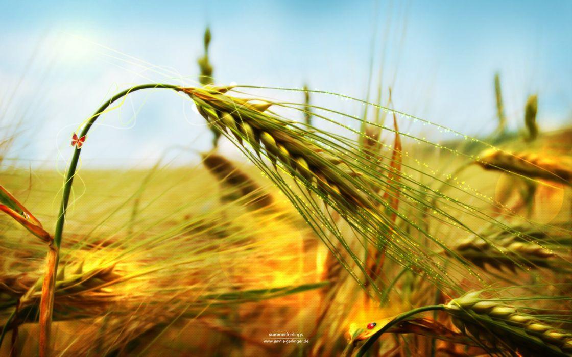 nature wheat spikelets wallpaper