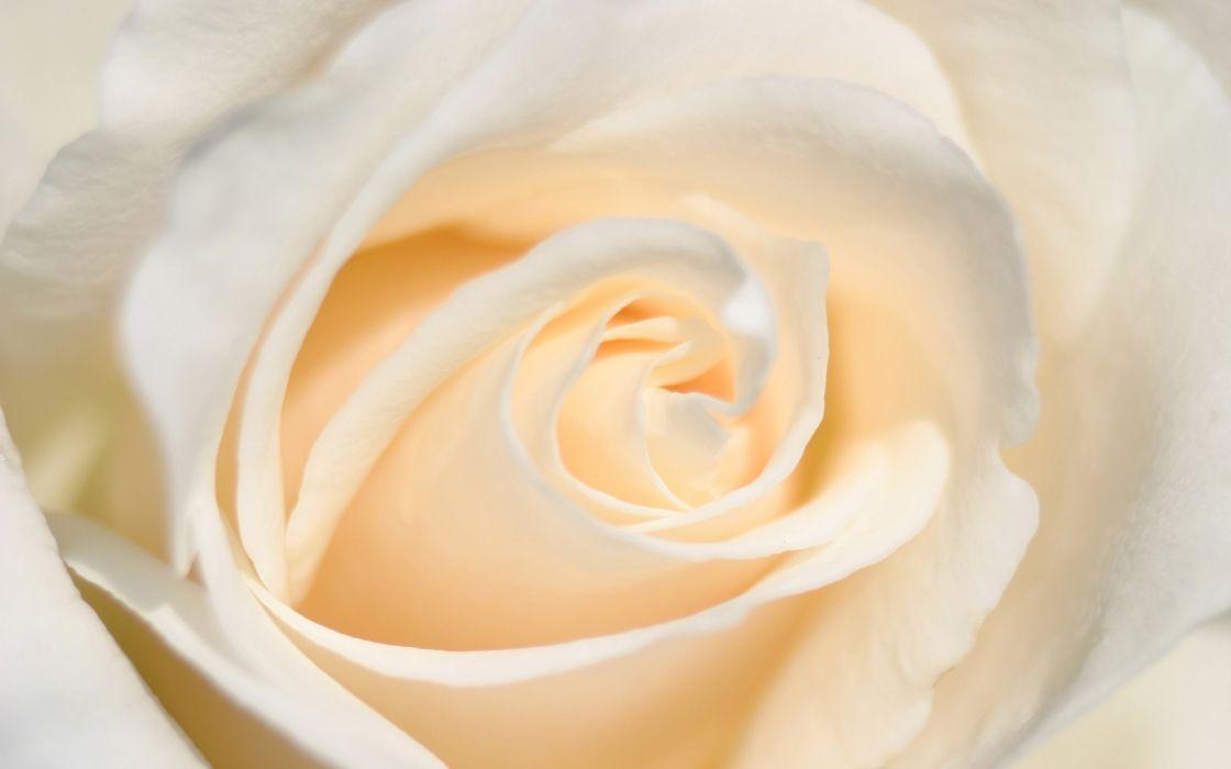 white flowers roses wallpaper