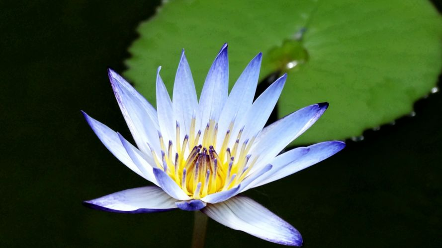 water nature flowers plants water lilies wallpaper