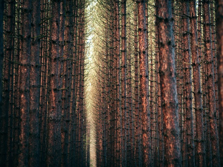 nature trees pine trees wallpaper