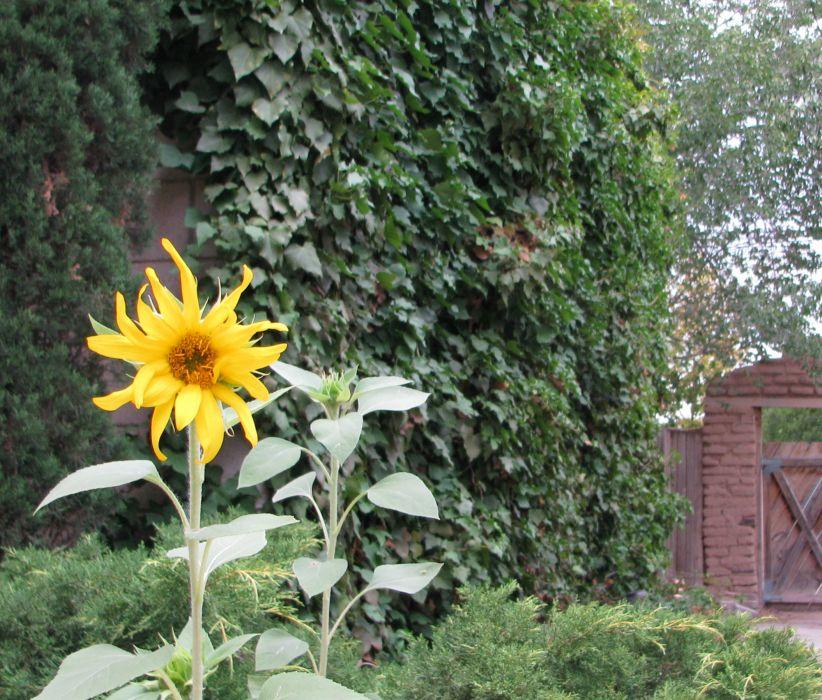 Courtyard 001 outdoors garden sunflower wallpaper