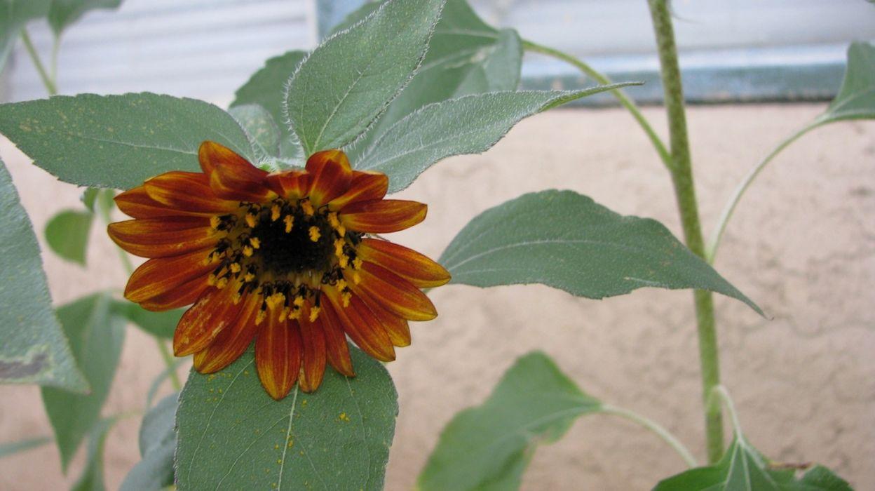 Courtyard 004 sunflower outdoors garden wallpaper