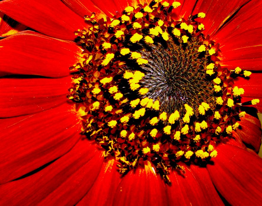 Red Sunflower garden flower sunflower outdoors closeup nature vivid wallpaper