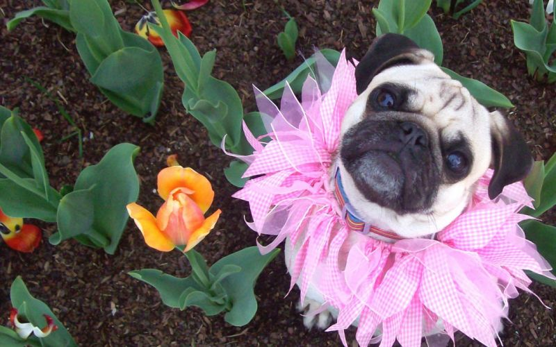 flowers dogs pugs camouflage wallpaper