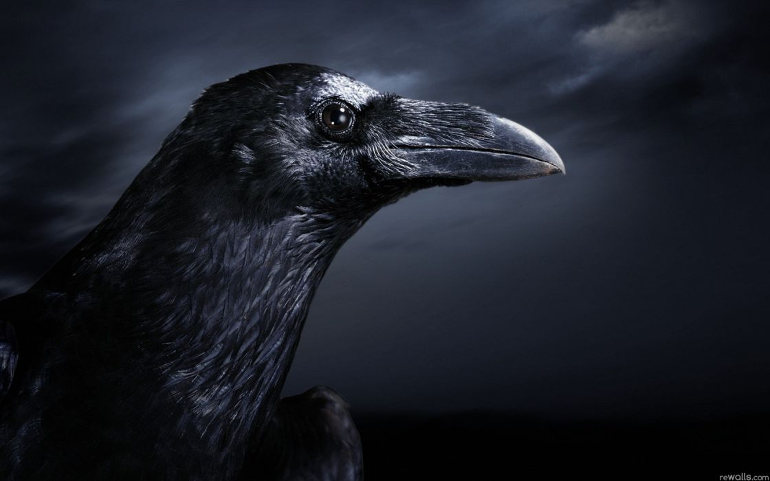 birds ravens wallpaper