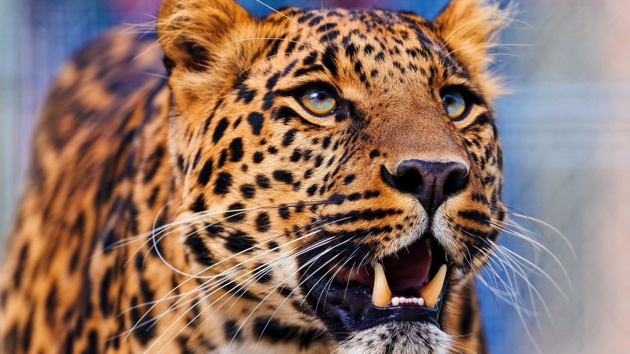 close-up nature animals leopards wallpaper