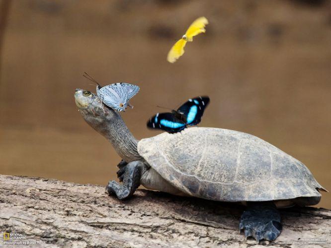 turtles reptiles butterflies wallpaper