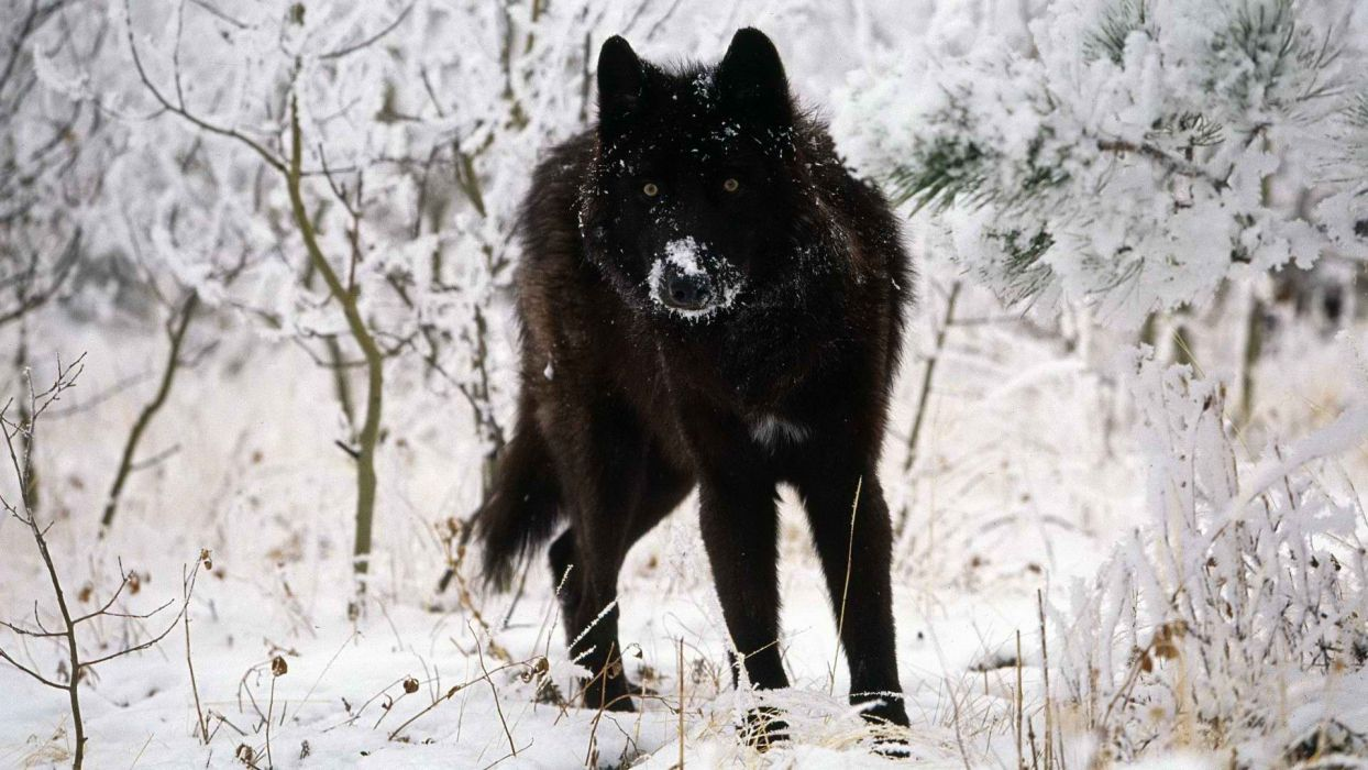 stare cold gray wolves wallpaper