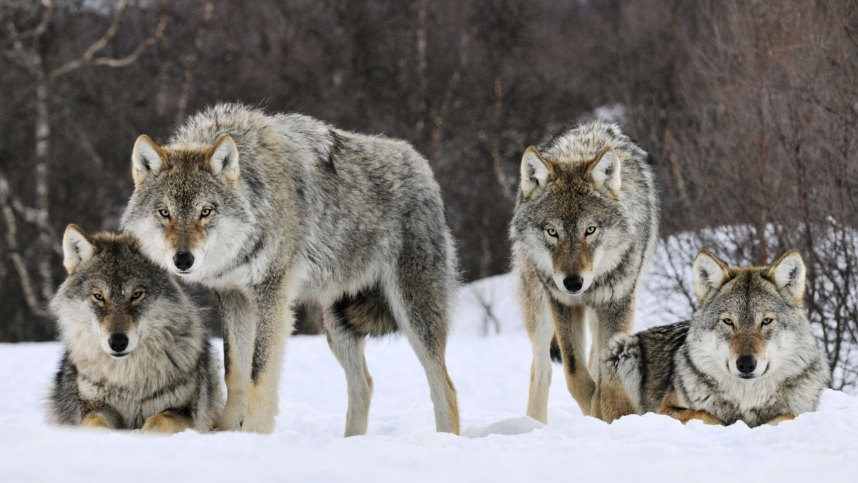 animals gray Norway wolves wallpaper