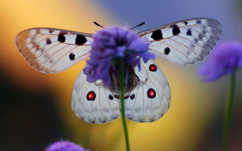 nature flowers violet macro butterfly wings wallpaper