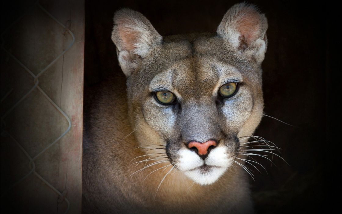animals cougars wallpaper