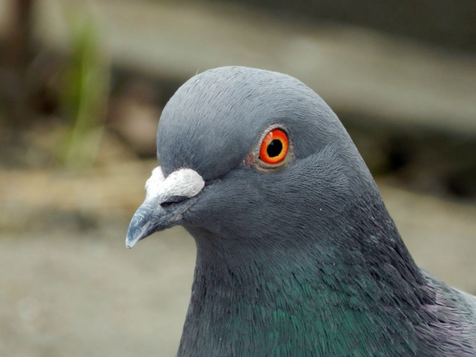 birds doves pigeons wallpaper
