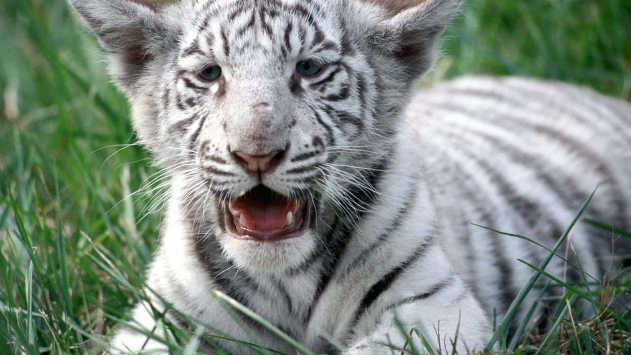 nature white animals tigers wildlife Bengal tigers wallpaper