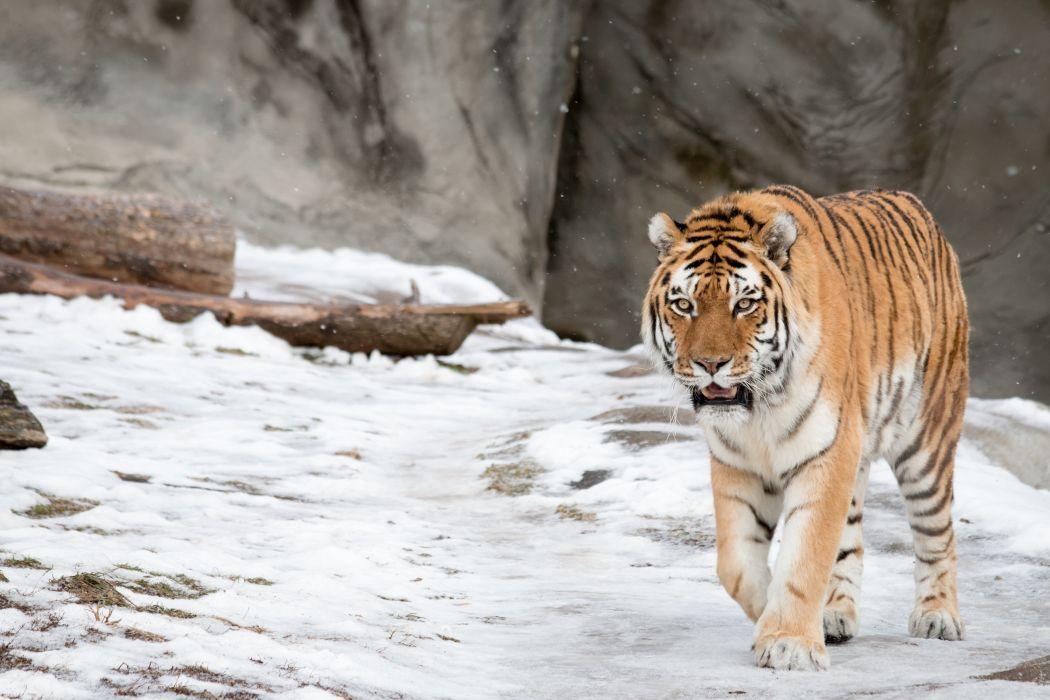 Amur tiger tiger wild cat snow winter wallpaper