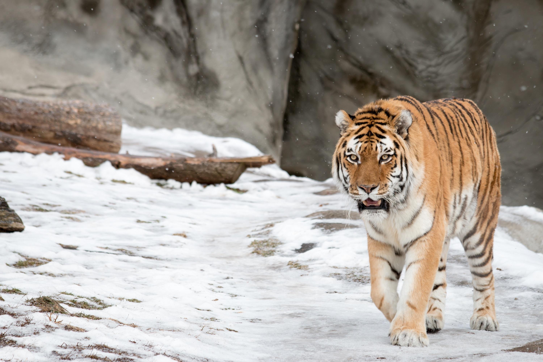 8k Animal Wallpaper Download: Amur Tiger Tiger Wild Cat Snow Winter Wallpaper