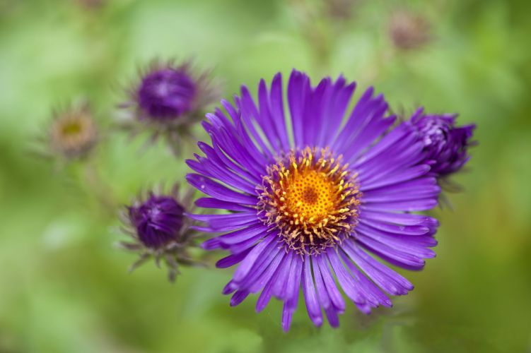 aster purple buds background wallpaper