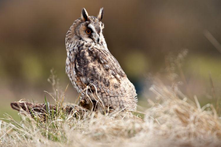 bird marsh grass owl tree stump wallpaper