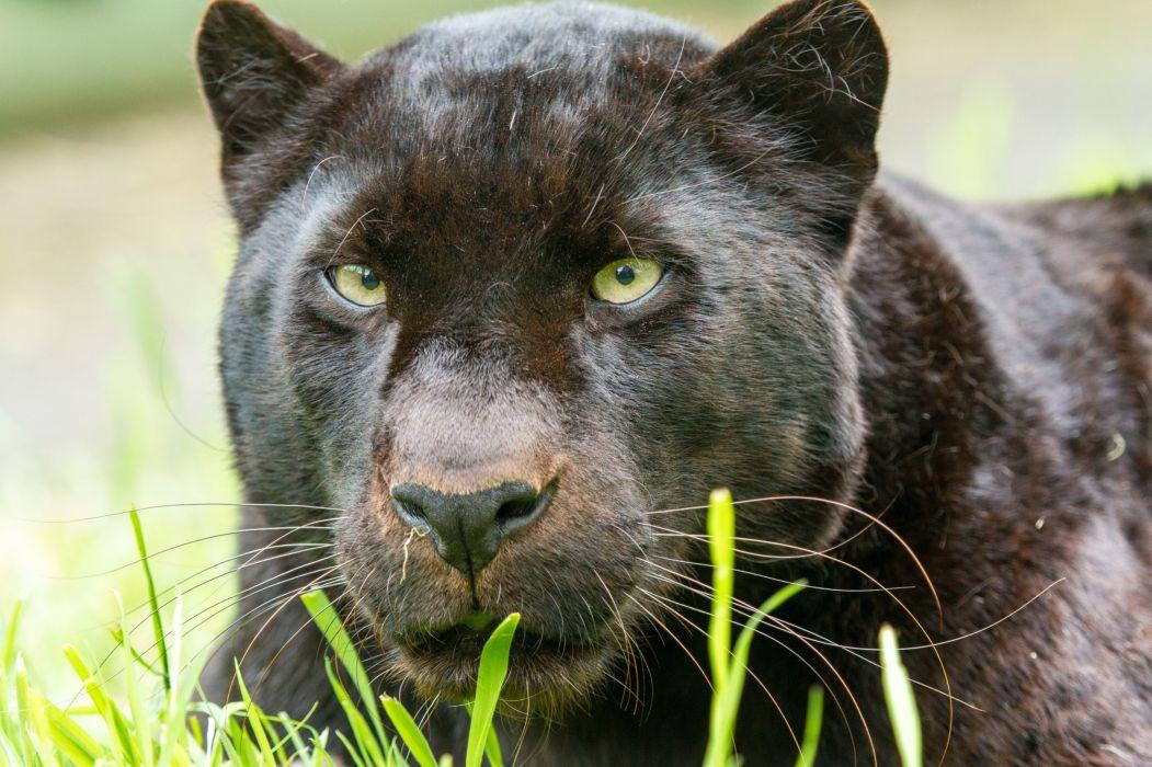 black leopard leopard panther wild cat face portrait wallpaper