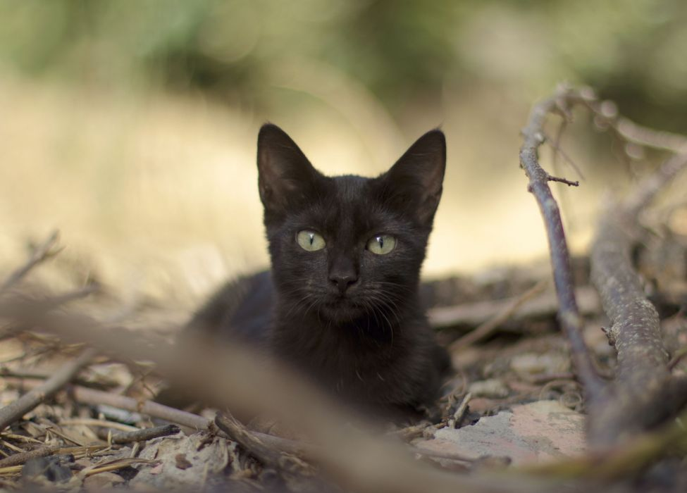branches black leaves cat wallpaper