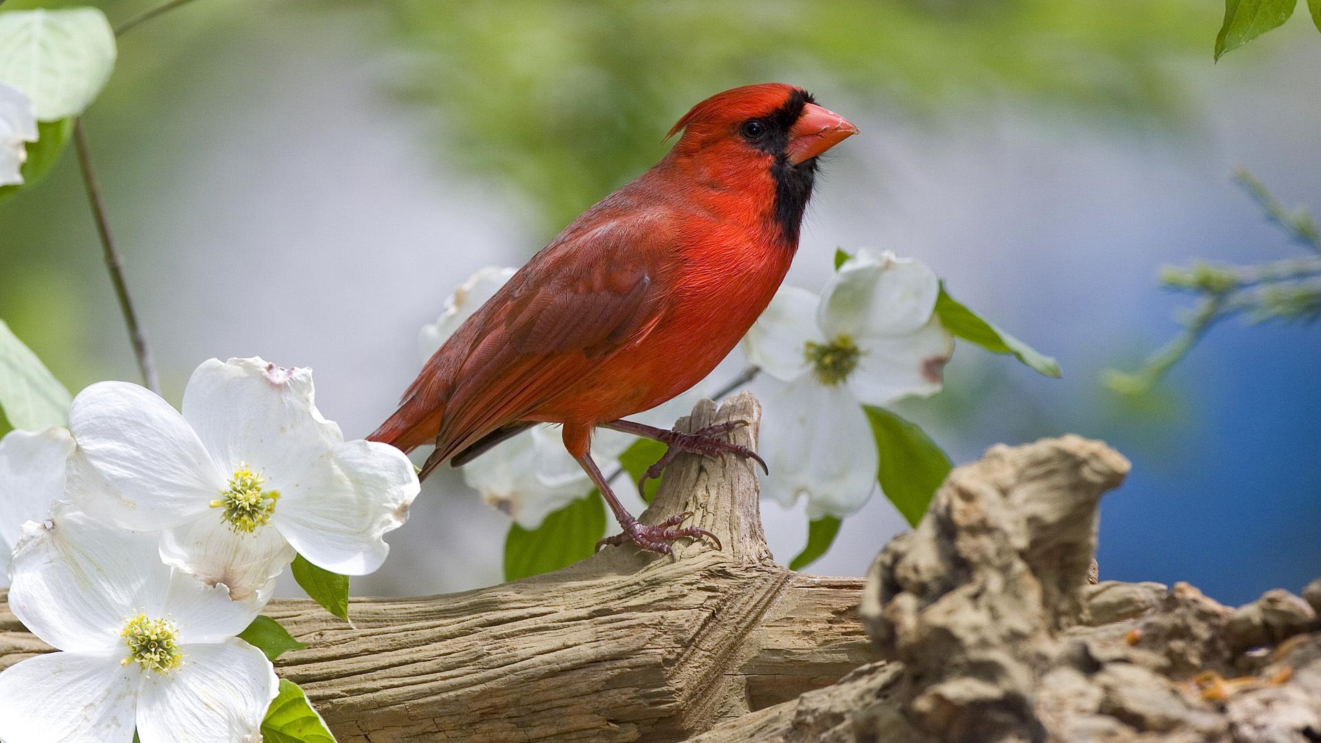 Cardinal Nature White Flowers Trees Bird Beak Wallpaper