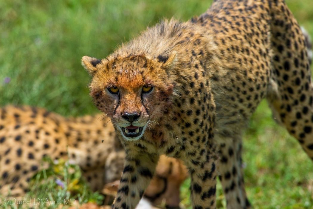 cheetah wild cat muzzle threat anger canines wallpaper