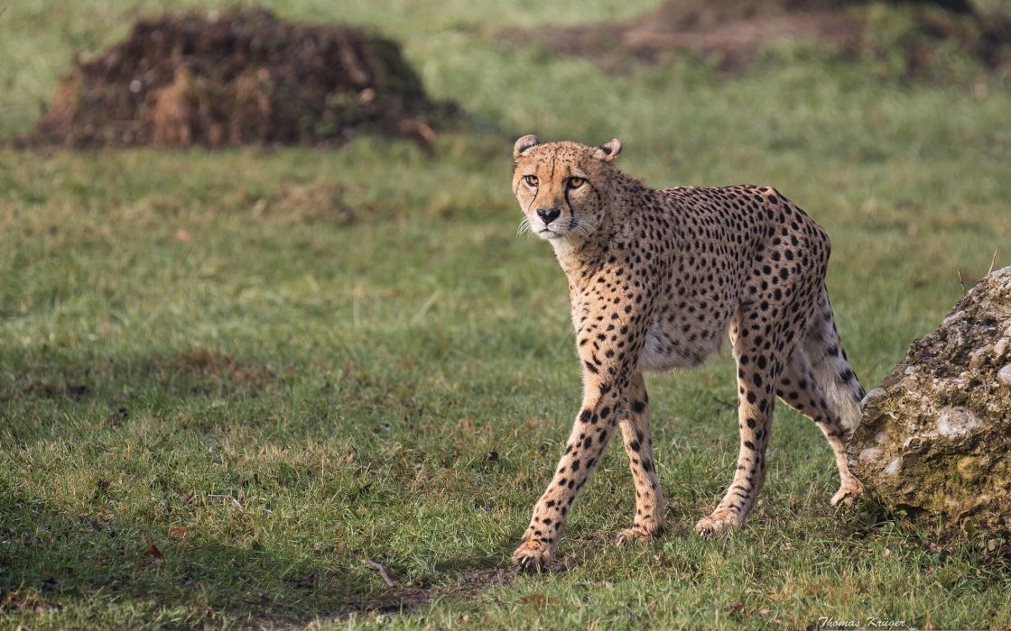 cheetah wild cat predator wallpaper
