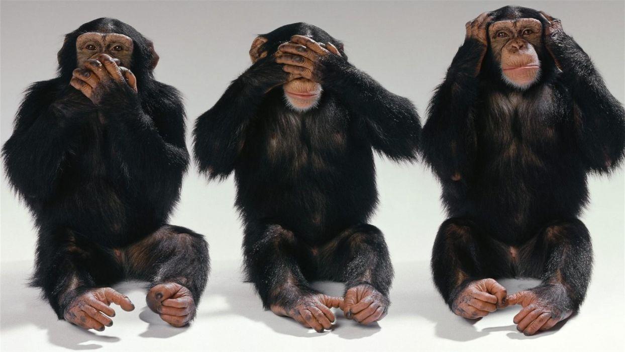 chimpanzee monkey wallpaper